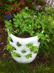 Sold empty $70 Full of compost ready to plant $80 Strawberry Planted barrel $120 Herb/salad barrel $150