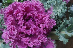 ornamental-cabbage-plant-2961292421436aN2