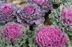 ornamental-kale